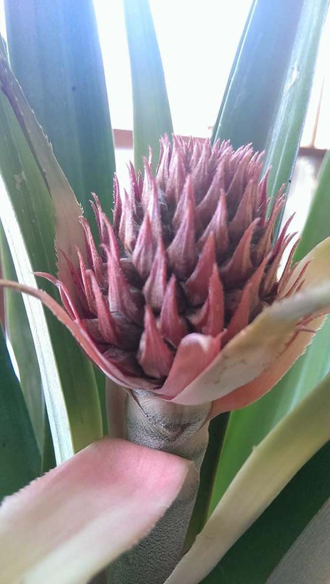 Καλλιεργώντας έναν ανανά μέσα στο σπίτι (5)