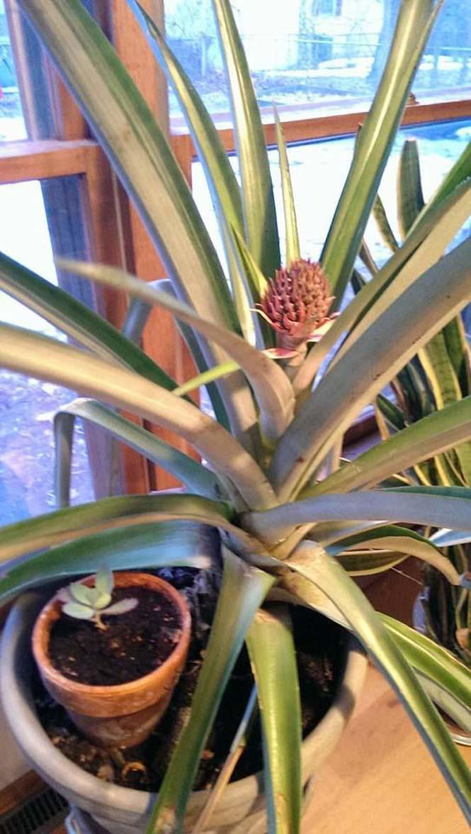 Καλλιεργώντας έναν ανανά μέσα στο σπίτι (7)