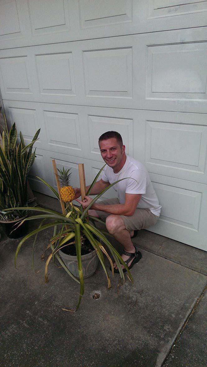 Καλλιεργώντας έναν ανανά μέσα στο σπίτι (18)