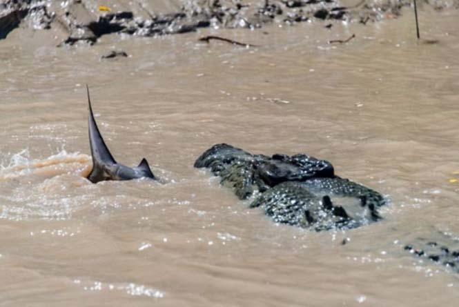 Κροκόδειλος εναντίον καρχαρία (1)