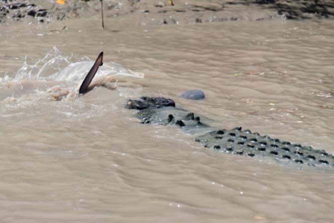 Κροκόδειλος εναντίον καρχαρία (3)