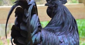 Μαύρα κοτόπουλα: Γνωρίστε την «Lamborghini» των πουλερικών
