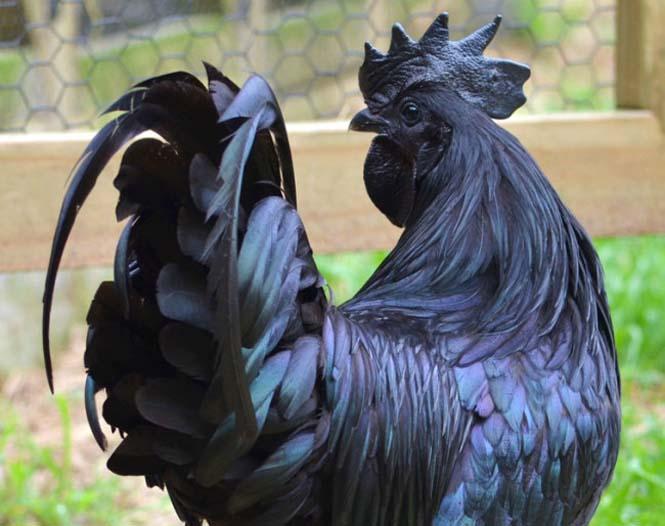 Μαύρα κοτόπουλα (4)