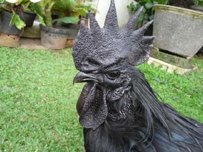 Μαύρα κοτόπουλα (7)
