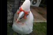 Ο παπαγάλος που χορεύει τραγουδώντας «μακαρόνια με κιμά»