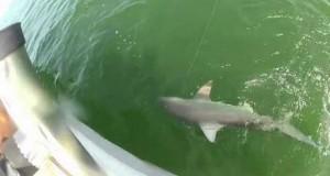 Απίστευτο βίντεο: Ροφός έκανε μια χαψιά ολόκληρο καρχαρία