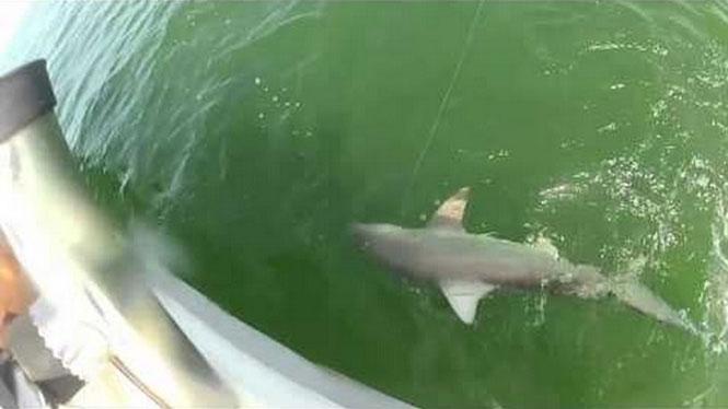 Ροφός έκανε μια χαψιά ολόκληρο καρχαρία