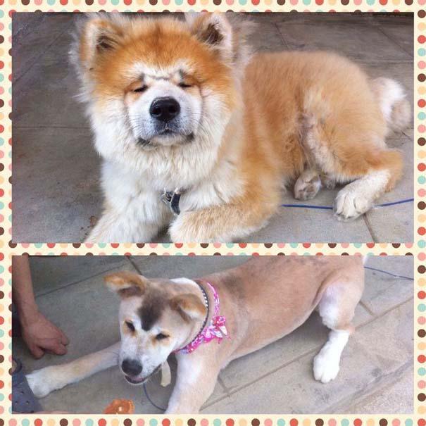 Σκύλοι που μεταμορφώθηκαν με ένα κούρεμα (1)