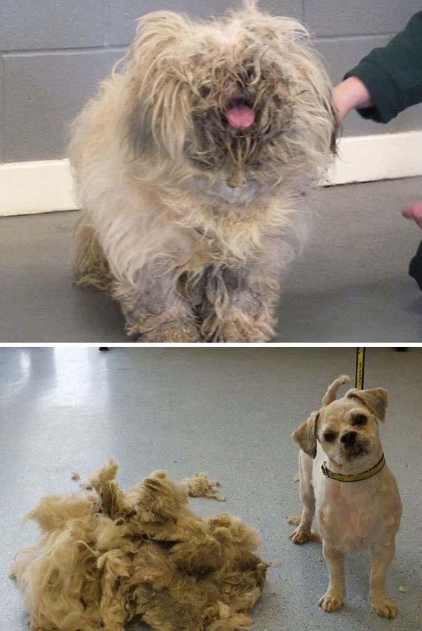 Σκύλοι που μεταμορφώθηκαν με ένα κούρεμα (3)