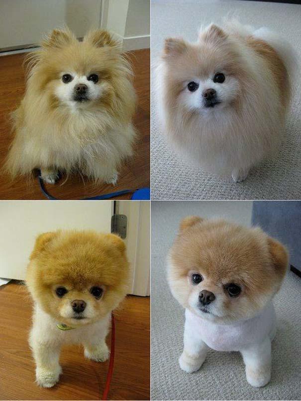 Σκύλοι που μεταμορφώθηκαν με ένα κούρεμα (4)