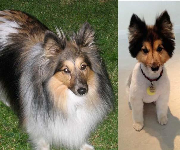 Σκύλοι που μεταμορφώθηκαν με ένα κούρεμα (5)
