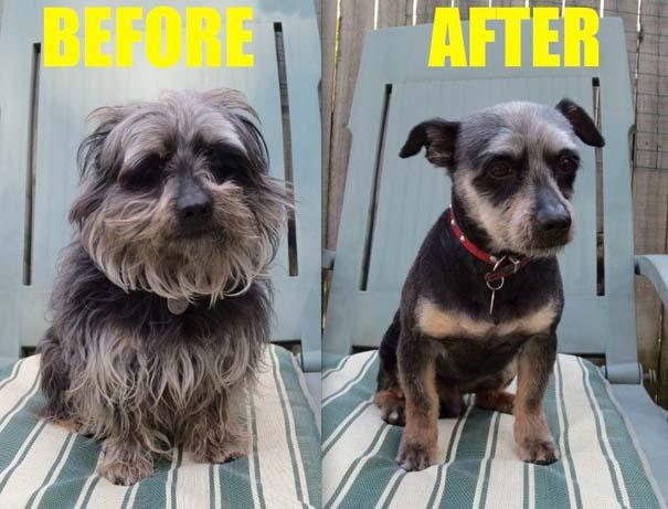 Σκύλοι που μεταμορφώθηκαν με ένα κούρεμα (6)