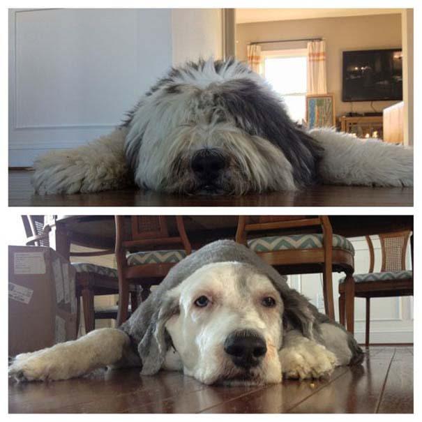 Σκύλοι που μεταμορφώθηκαν με ένα κούρεμα (8)