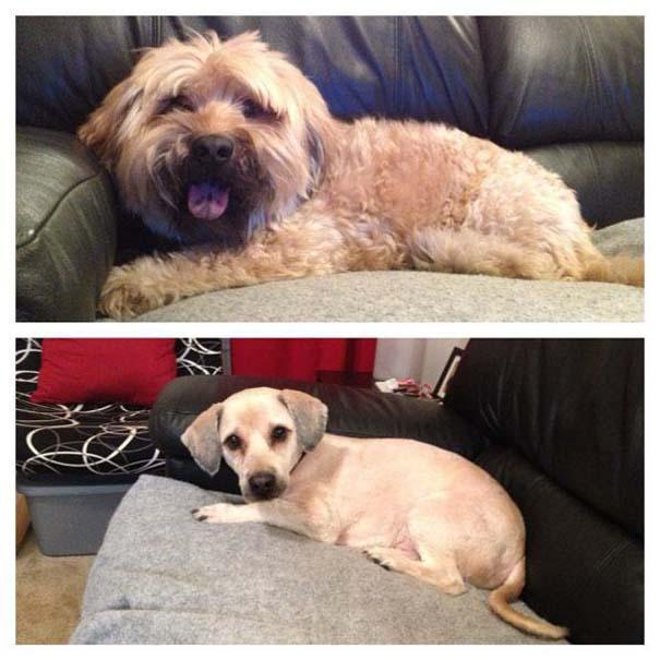 Σκύλοι που μεταμορφώθηκαν με ένα κούρεμα (12)