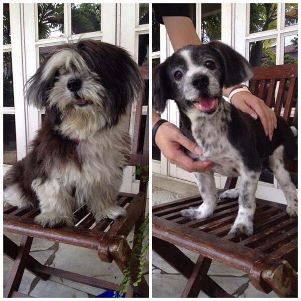 Σκύλοι που μεταμορφώθηκαν με ένα κούρεμα (13)