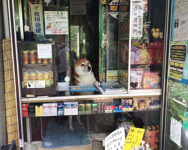 Σκύλος περιπτεράς (1)