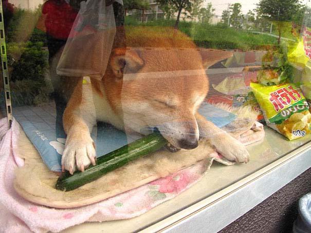 Σκύλος περιπτεράς (4)