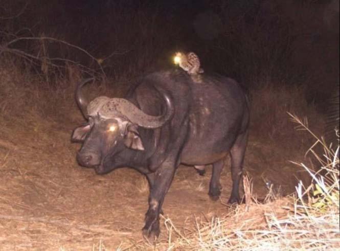 Αγριόγατα κάνει σαφάρι στην Αφρική (2)