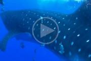 Φαλαινοκαρχαρίας εμφανίζεται από το πουθενά