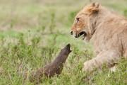 Μαγκούστα τα βάζει με τέσσερα λιοντάρια