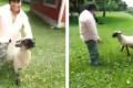 Πρόβατο παίρνει την εκδίκηση του από μεθυσμένο που το ενοχλούσε (Video)