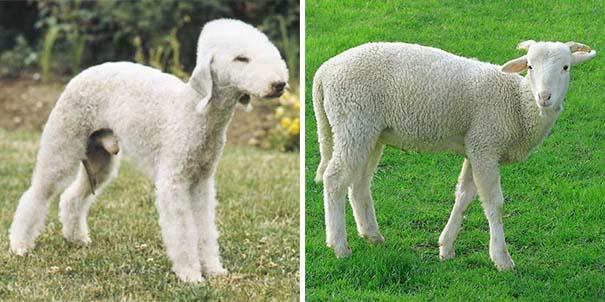 Σκύλοι που μοιάζουν με κάτι άλλο (8)