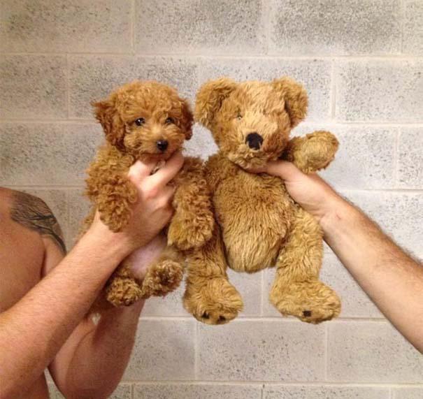 Σκύλοι που μοιάζουν με κάτι άλλο (9)
