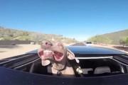 Σκύλος απολαμβάνει μια βόλτα από την ηλιοροφή αυτοκινήτου με απίθανο τρόπο