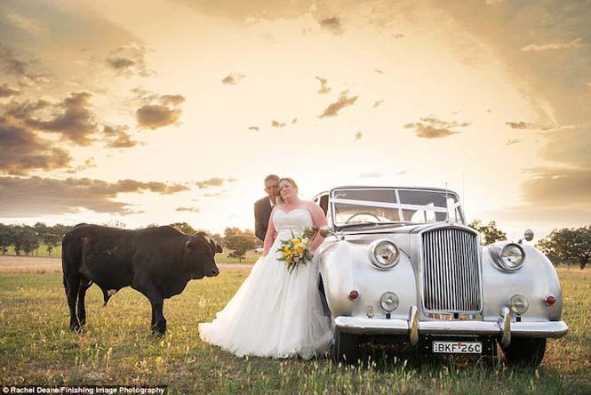 Ταύρος κάνει photobombing σε γαμήλια φωτογράφηση (1)