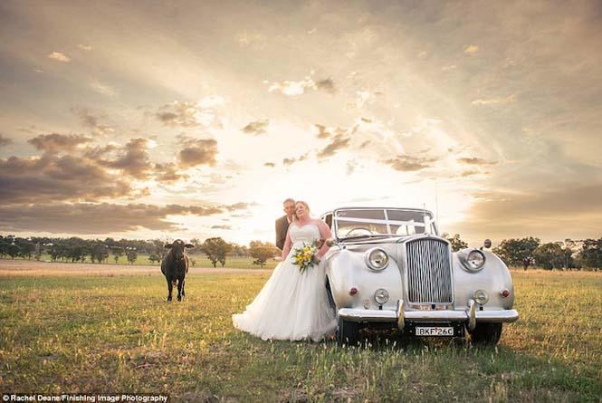 Ταύρος κάνει photobombing σε γαμήλια φωτογράφηση (2)