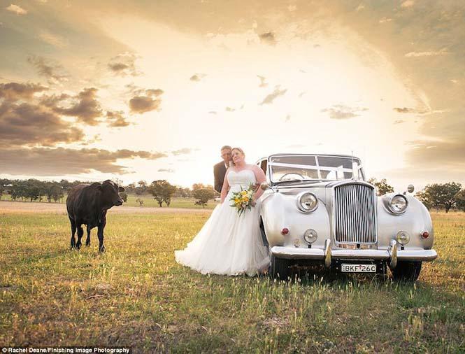 Ταύρος κάνει photobombing σε γαμήλια φωτογράφηση (3)