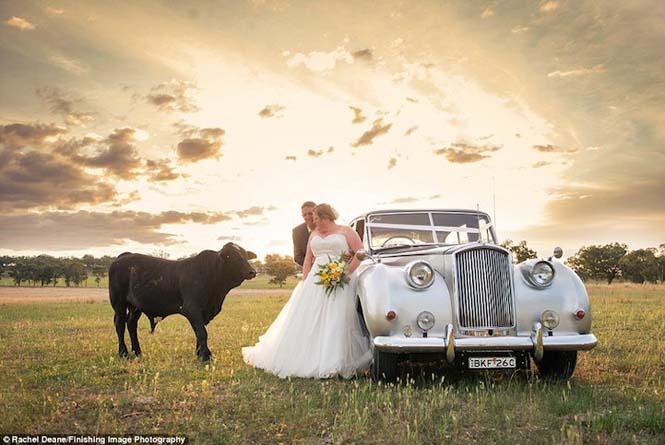 Ταύρος κάνει photobombing σε γαμήλια φωτογράφηση (4)