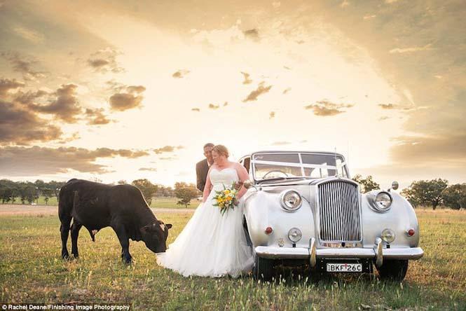 Ταύρος κάνει photobombing σε γαμήλια φωτογράφηση (5)