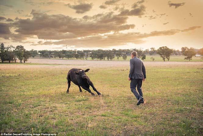 Ταύρος κάνει photobombing σε γαμήλια φωτογράφηση (9)