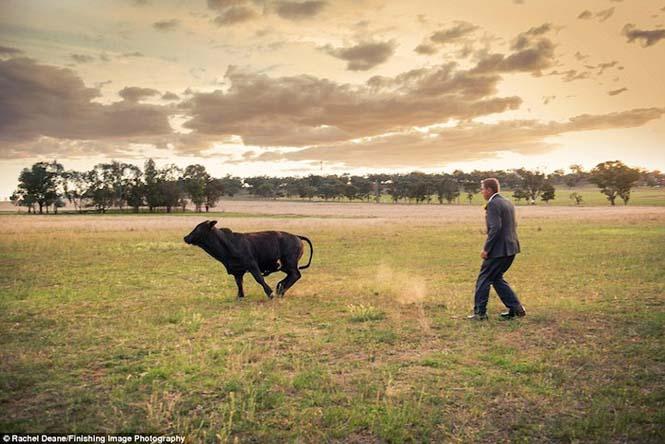 Ταύρος κάνει photobombing σε γαμήλια φωτογράφηση (10)