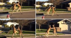 Αγώνας kickboxing ανάμεσα σε δυο καγκουρό (Video)