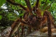 Αράχνη σε μέγεθος αρουραίου (1)