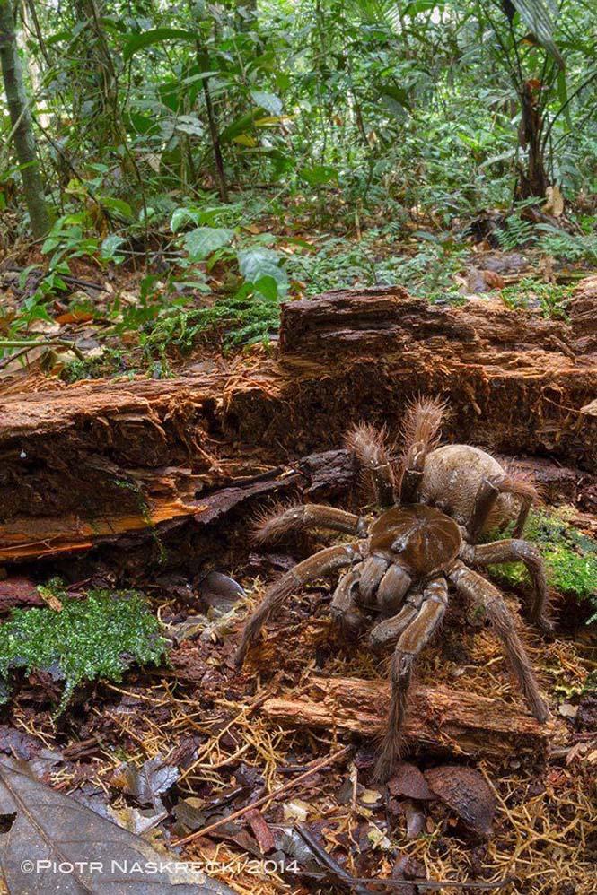 Αράχνη σε μέγεθος αρουραίου (2)