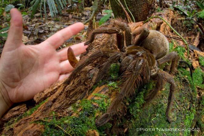 Αράχνη σε μέγεθος αρουραίου (3)