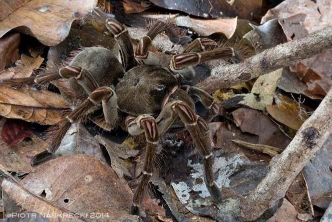 Αράχνη σε μέγεθος αρουραίου (4)