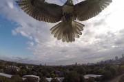 Γεράκι κατέρριψε drone με συνοπτικές διαδικασίες