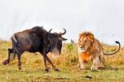 Λιοντάρι εναντίον γκνου σε 8 απίστευτα καρέ (1)