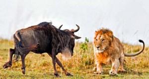Λιοντάρι εναντίον γκνου σε 8 απίστευτα καρέ