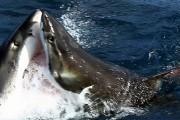 Μάχη ανάμεσα σε δυο μεγάλους λευκούς καρχαρίες
