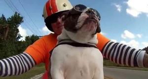 Μηχανόβιο Bulldog χαιρετάει τους περαστικούς και απολαμβάνει την βόλτα του (Video)
