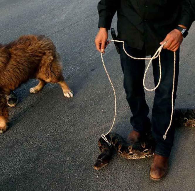 Πακιστανός έβγαλε για μια ασυνήθιστη βόλτα το εξωτικό του κατοικίδιο (2)