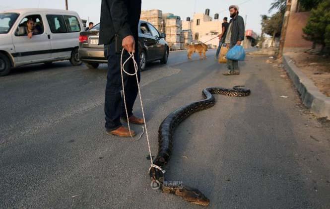 Πακιστανός έβγαλε για μια ασυνήθιστη βόλτα το εξωτικό του κατοικίδιο (4)