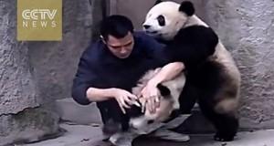 Panda αρνούνται να πάρουν το φάρμακο τους με ξεκαρδιστικό τρόπο (Video)