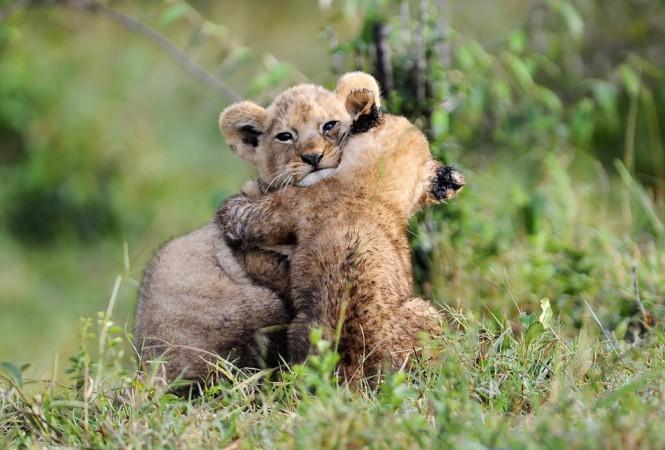 Λιονταράκια σε μια τρυφερή αγκαλιά | Φωτογραφία της ημέρας