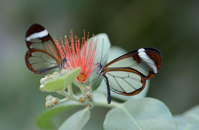 Πεταλούδες με «γυάλινα» φτερά | Φωτογραφία της ημέρας